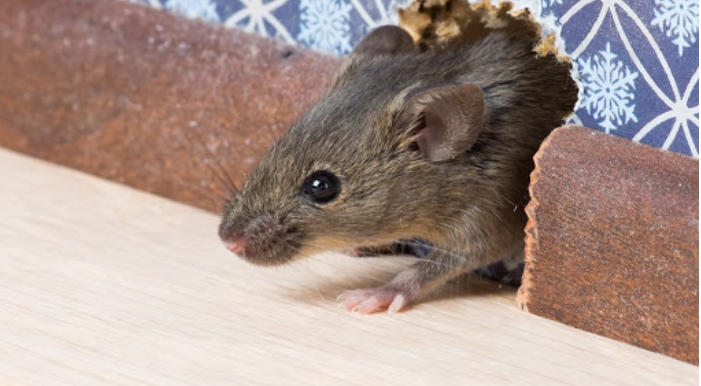 What are the most effective yet simple methods to control rodents at your property in Singapore?