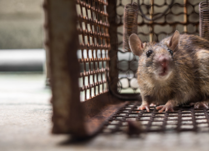 Do You Need To Consider Rodent Management During This COVID-19 Pandemic?