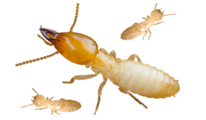 All about Termites – Infestation, Damage and Control