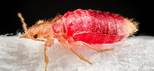 All You Needed to Know About Bed Bugs